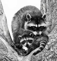 #4  Racoon and Kit