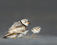 #13  Piping Plover
