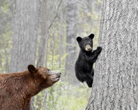 #1  Black Bear and Cub