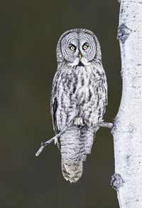 #4  Great Gray Owl